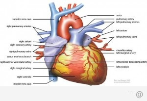 239960945 heart health 300x206 Ease The Pain With Private Treatment