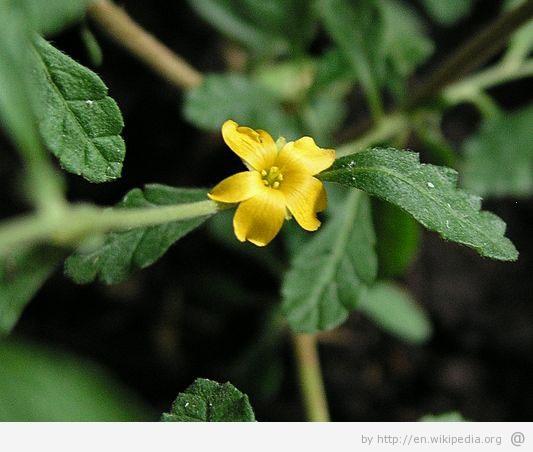The weight loss benefits of damiana damiana natural medicine