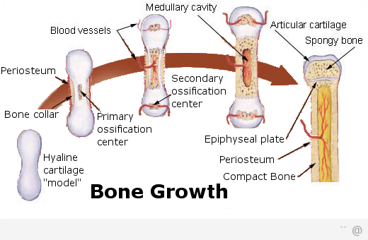 8868 osteoporosis bone Does Drinking Milk Help To Prevent Osteoporosis