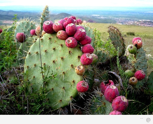 Nopal cactus is rich in betalains and reduces blood glucose levels Superfood Profile: Nopal Cactus