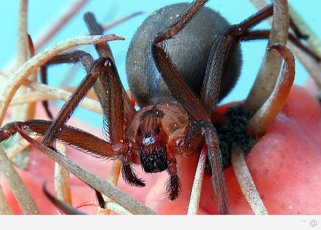Brown Recluse Spider Three Spider Species That Deliver Fatal Bites   First Aid Treatment