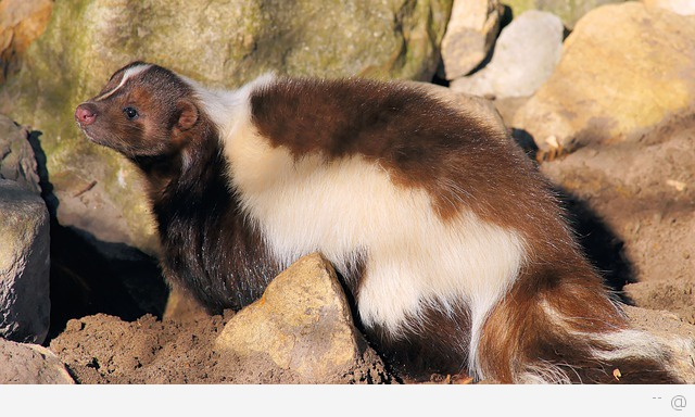 baby skunk causes rabies Rabies Symptoms In Humans   Causes Treatment and Prevention