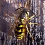 Yellow Jacket Stings – How To Avoid And Treat Them