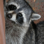 4 Common Infectious Diseases Spread By Raccoons