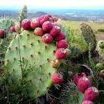 Superfood Profile: Nopal Cactus